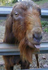 Buck: Male Goat Buckling: