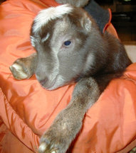 Goatbabies of 2003