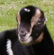 Goatbabies of 2002