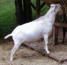 Goat - Buck - Fias Co Farm Galahad