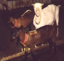 Goats - Goldie and Niblets